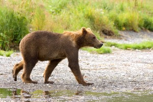 A brown bear on Kodiak Island, via U.S. Fish and Wildlife Service's National Digital Library
